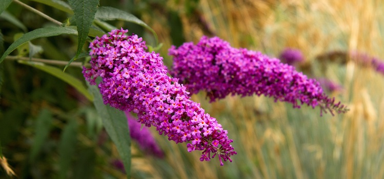Buddleja davidii Royal Red 750x350 - Shawn, Northeastern Ontario