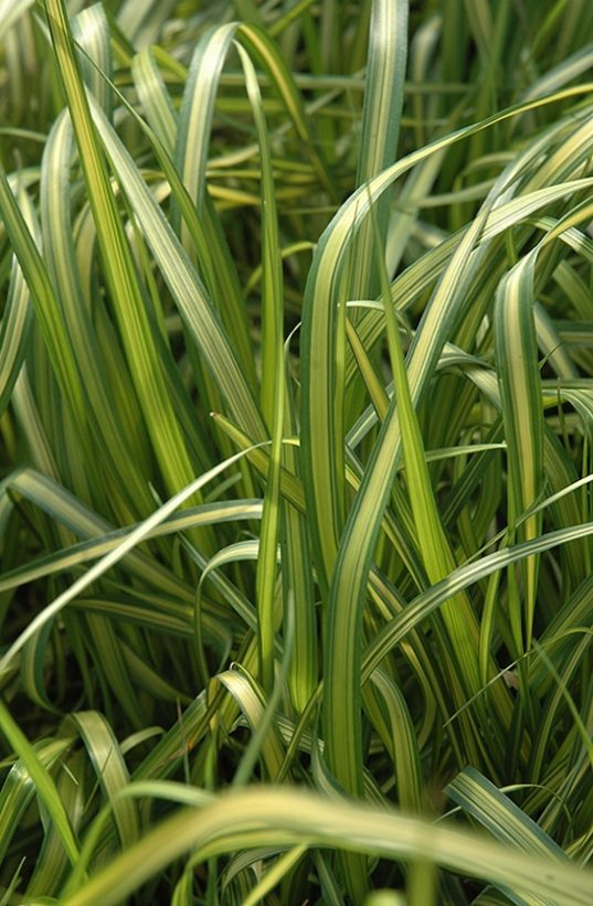 Variegated Feather Reed Grass - Calamagrostis x acutiflora 'EldoradoCalamagrostis Acutiflora 'Eldorado'