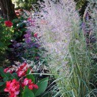 Calamagrostis acutiflora 'Eldorado' for sale Ontario