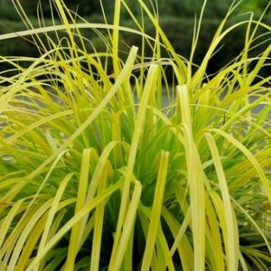 Japanese sedge grass Carexoshimensis everillo