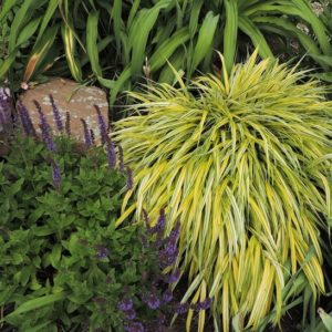 Hakonechloa macra 'Aureola' in the garden