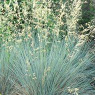 Blue Oat Grass - Helictotrichon sempervirens