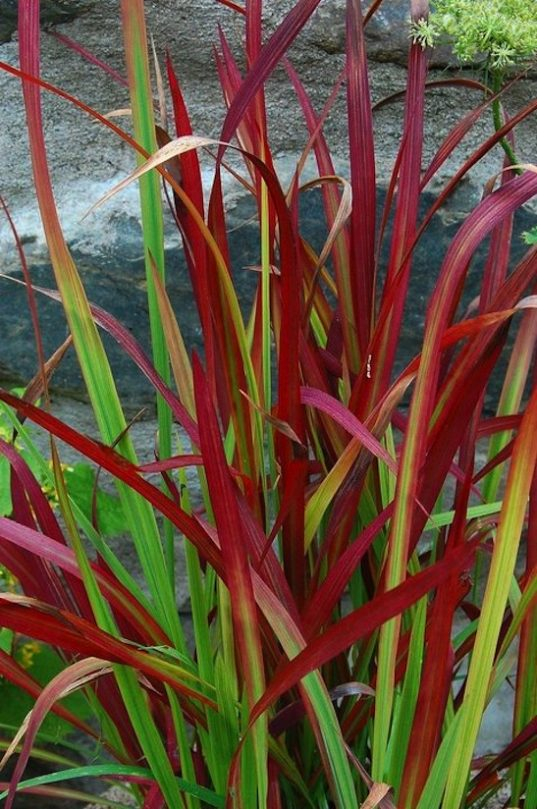 Japanese Blood Grass - Imperata cylindrical 'Red Baron' Japanese Blood Grass