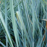 Blue Lyme Grass - Leymus arenarius - Elymus arenarius