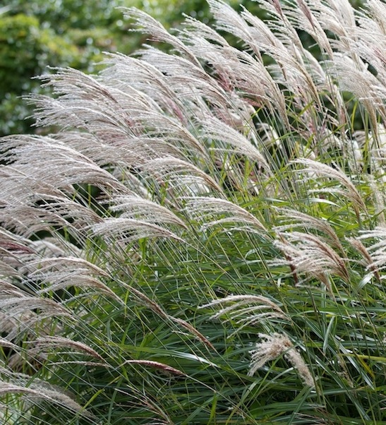 gracillimus maiden grass miscanthus sinensis. Black Bedroom Furniture Sets. Home Design Ideas