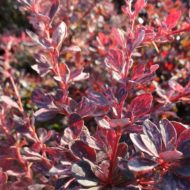 Berberis thunbergii 'Rose Glow'_foliage