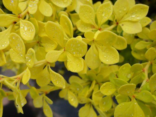 Berberis thunbergii 'aurea nana'