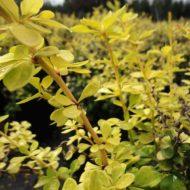 Berberis thunbergii 'Aurea Nana' foliage 2