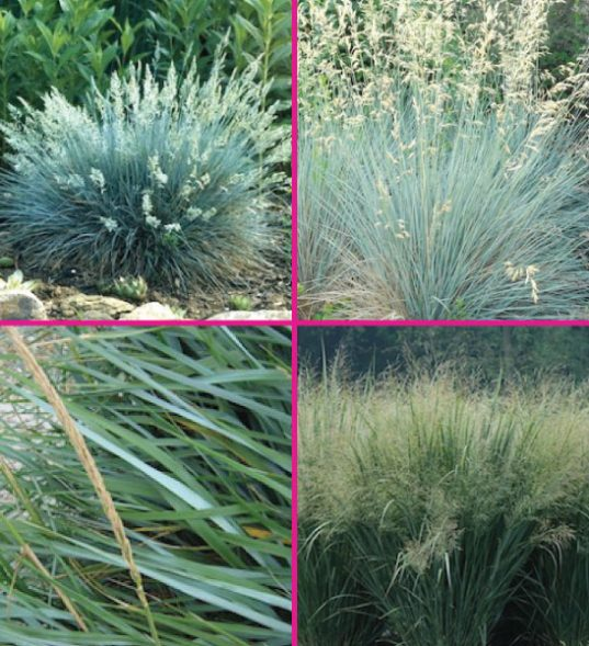Ornamental grass for sale Canada