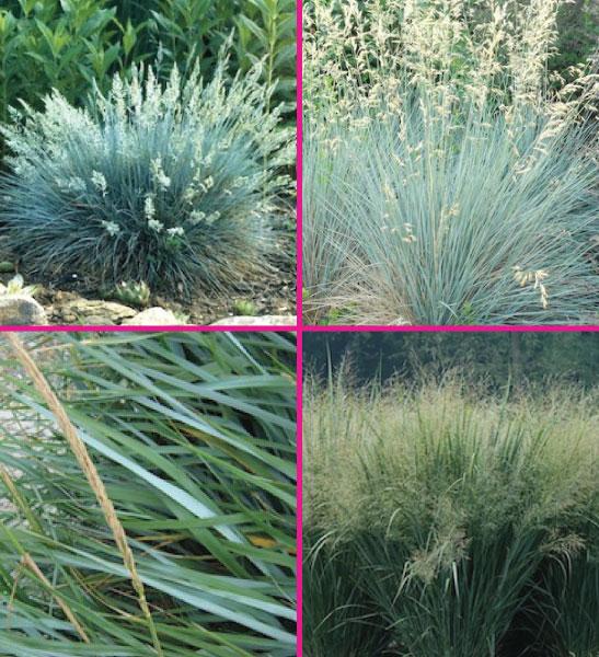 Ornamental grass for sale Canada