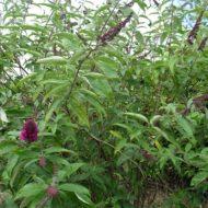 Buddleia davidii 'Royal Red' shrub