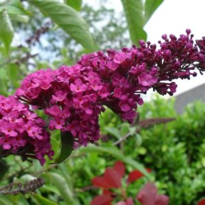 Buddleja davidii Royal Red flower