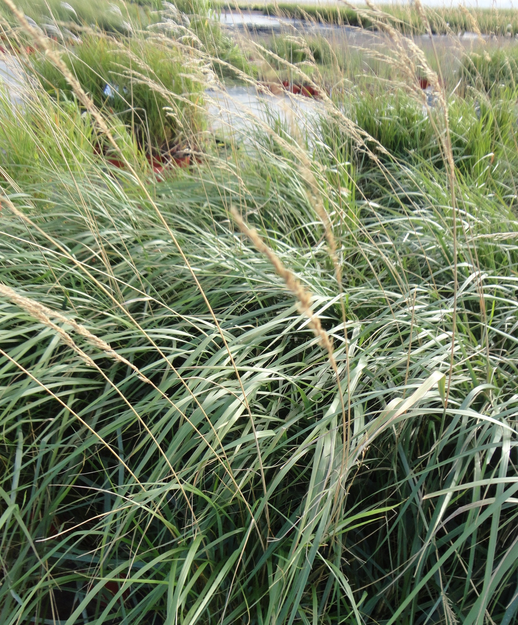 Karl foerster feather reed grass calamagrostis for Ornamental feather grass