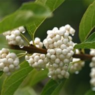 White beautyberry, Callicarpa dichotoma f. albifructa, white fruit