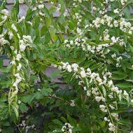 Callicarpa albibacca habit