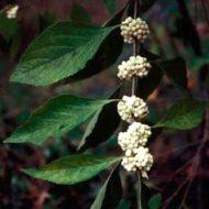 Callicarpa albibacca habit branch