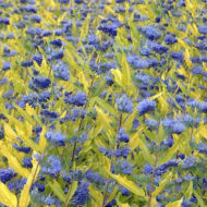 Caryopteris x clandonensis 'Worcester Gold' Bluebeard