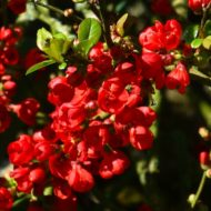 Red japanese quince in bloom. Chaenomeles x superba 'Rubra'