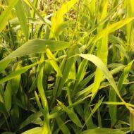 Chasmanthium latifolium sun foliage