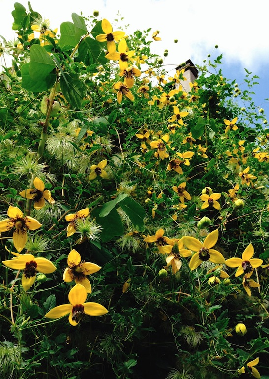 Golden Clematis - Clematis tangutica - yellow flowers