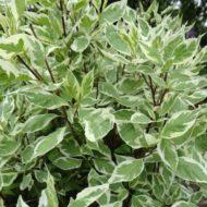 Cornus alba 'Elegantissima' foliage