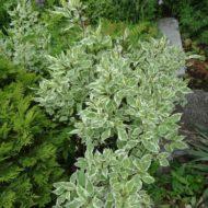 Cornus alba 'Elegantissima' Variegated Red Twig Dogwood summer foilage