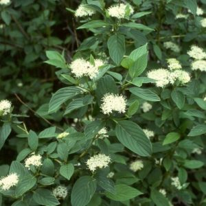 Cornus flaviramea Golden Twig Dogwood