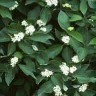 Cornus sericea 'Kelsey'