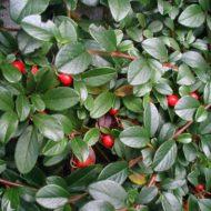 Cotoneaster dammeri foliage & fruit
