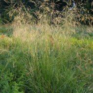 Deschampsia cespitosa 'Bronzeschleier' habit