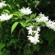 Deutzia gracilis - Slender Deutzia blooms