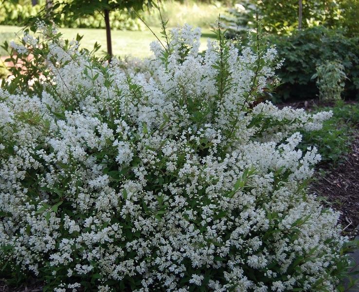 Deutzia gracilis Slender Deutzia
