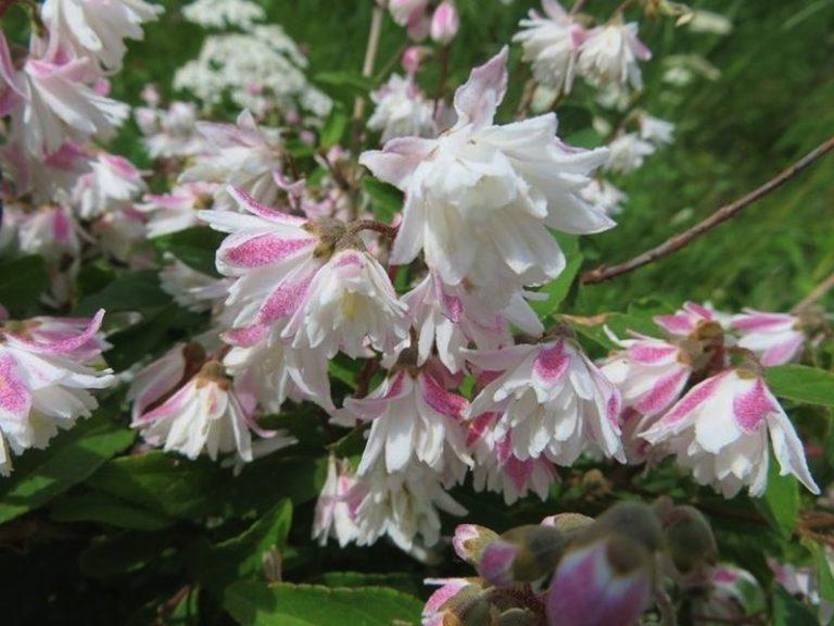 Deutzia x scabra 'Flore Pleno' Fuzzy Deutzia