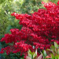Euonymus alatus Burning bush