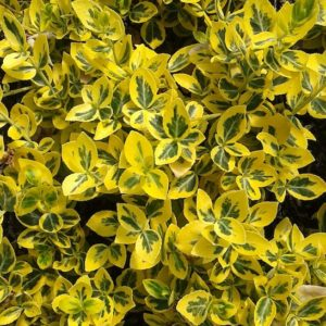Euonymus fortunei 'Emerald 'N' Gold' foliage