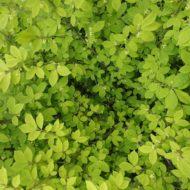 Euonymus alatus foliage