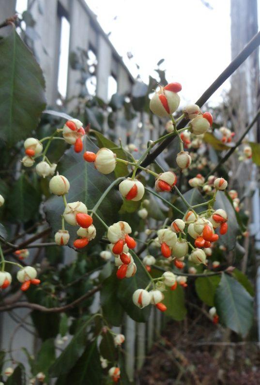 Euonymus fortunei Wintercreeper