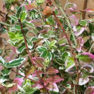 Euonymus fortunei 'Emerald Gaiety' winter foliage