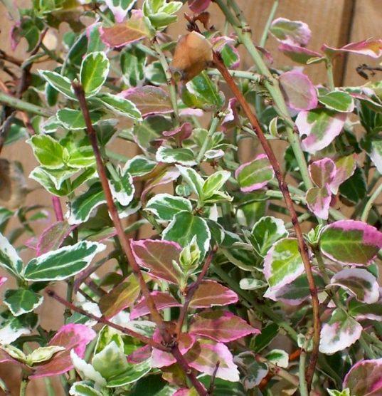 Euonymus fortunei 'Emerald Gaiety' winter foliage