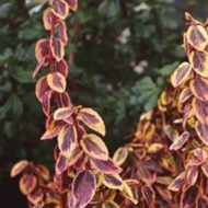 Euonymus fortunei 'Emerald 'N' Gold' Gold Wintercreeper