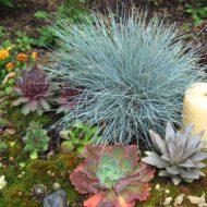 Festuca ovina 'Elijah Blue' Fescue Grass