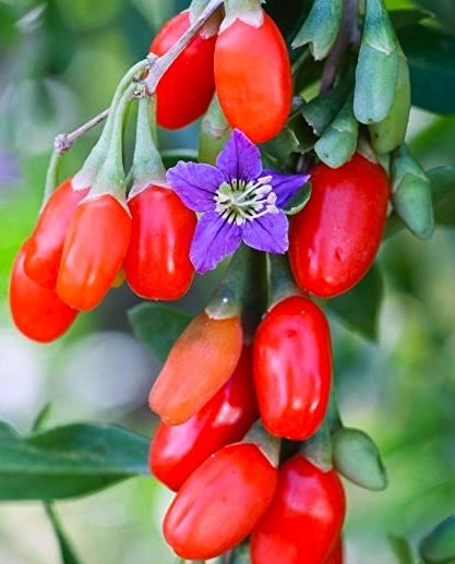 Flower and fruit Firecracker Goji Berry