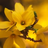 Flowers of Forsythia ovata 'Northern Gold'