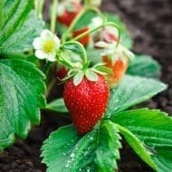 Jewel Strawberry June-bearing Strawberries Fragaria 'Jewel' plant in bloom