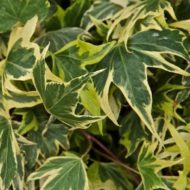 Green Edged Yellow Ivy - Hedera helix 'Yellow Ripple'