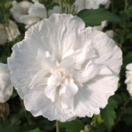 Hibiscus syriacus 'Double White' Bloom