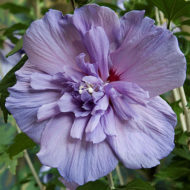 Hibiscus syriacus 'Double Purple' flower in bloom