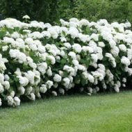 Hydrangea arborescens 'Annabelle' for sale Canada, Annabelle Hydrangea for sale Canada, Hydrangea arborescens 'Annabelle', shop Annabelle Hydrangea Canada, buy Hydrangea arborescens 'Annabelle', buy Annabelle Hydrangea Canada, Ornamental shrubs for sale Canada, Buy Ornamental shrubs Canada, Shop Ornamental shrubs Canada, Ornamental shrubs for sale Toronto, Buy ornamental shrubs Toronto, Shop ornamental shrubs Toronto, Ornamental shrubs for sale Ottawa, Buy ornamental shrubs Ottawa, Shop ornamental shrubs Ottawa, Ornamental shrubs for sale Montréal, Buy ornamental shrubs Montréal, Shop ornamental shrubs Montréal