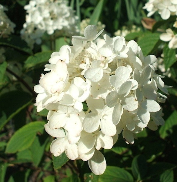 Hydrangea paniculata 'Jack Cataraqui' flower
