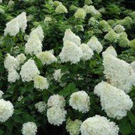 Hydrangea paniculata - Panicle hydrangea